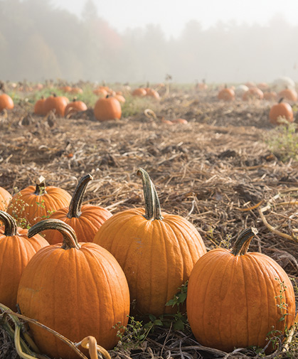 A field of Jack-o-lantern type pumpkins awaits evaluation on a foggy fall morning at our research farm.