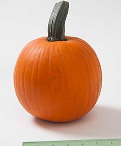 Cinnamon Girl PMR (F1) Pumpkin