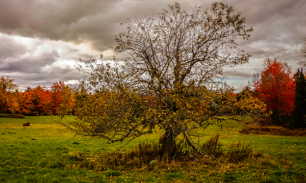 Quimby Hill Apple Tree, Albion, Maine