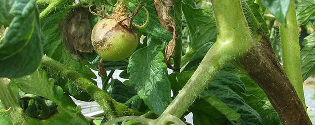 Late blight-infected tomato plant: leaves, stem, and fruit all affected