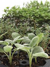 Organic Herb Plug Collection