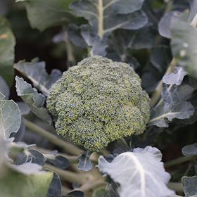 How to Grow Standard Broccoli