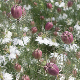 How to Grow Nigella