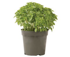 Container-grown Piccolino Basil Plant