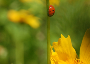 Lady beetle, on the move
