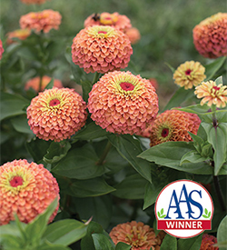 Queen Lime Orange zinnia seed available from Johnny's