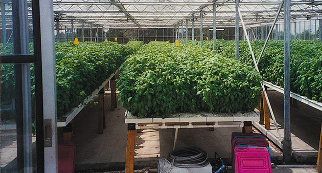 Greenhouse Container Basil Trials