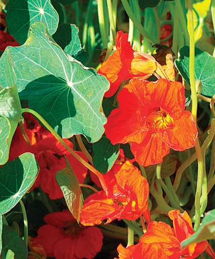 Nasturtium, a vigorous, easily grown plant in full sun, which blooms and thrives in poor soil and dry conditions.