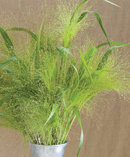 A bouquet of 'Frosted Explosion,' a variety of the ornamental grass, Panicum elegans.