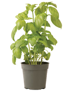 Container-grown Genovese Basil Plant