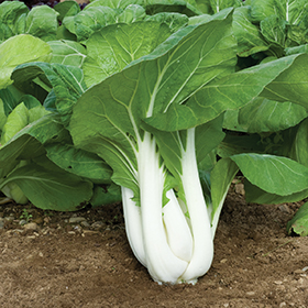 How to Grow Pac Choi