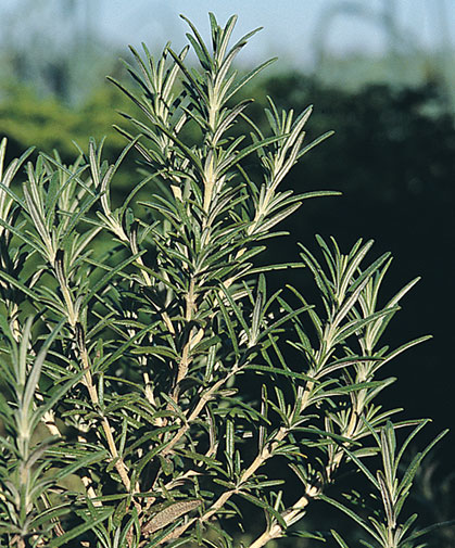 Sprigs of a rosemary plant, grown from seed; like other Mediterranean herbs, rosemary prefers full sun and well-drained soil.