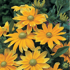 How to Grow Rudbeckia (R. hirta)