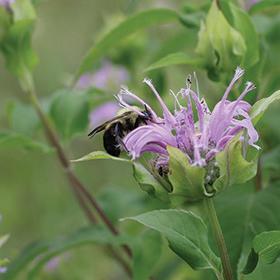 How to Grow Wild Bergamot (Bee Balm - Monarda fistulosa)