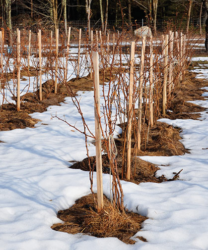 A patch of dormant raspberry plants in winter; characteristically, its biennial canes are vegetative the 1st year and produce fruit the 2nd year.