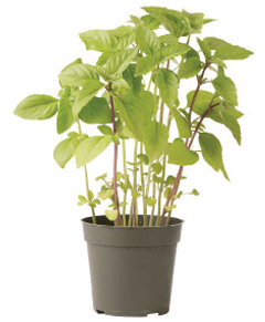 Container-grown Cinnamon Basil Plant
