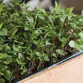 How to Grow Microgreens