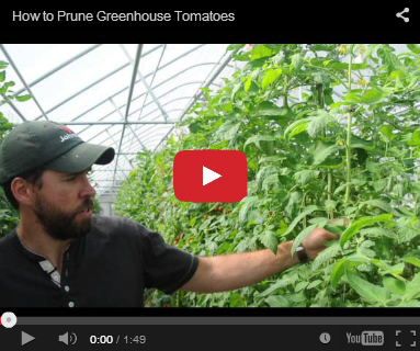Pruning Greenhouse Tomatoes