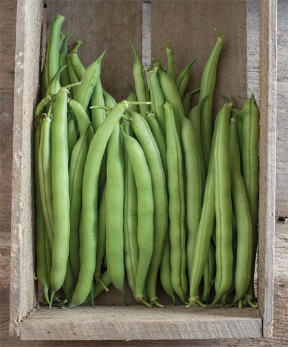 A box of freshly-picked bush beans. The secret to ongoing production is to pick, pick, pick.