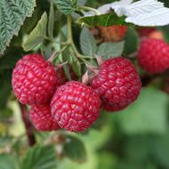 Nova Raspberry Plants