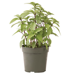 Container-grown Sweet Thai Basil Plant