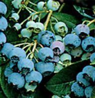 Jersey Blueberry Plants