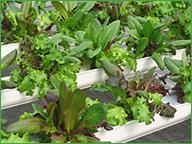 Hydroponic Lettuce Trays
