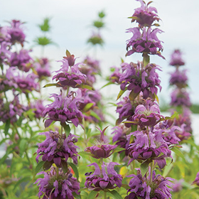 How to Grow Monarda / Bee Balm