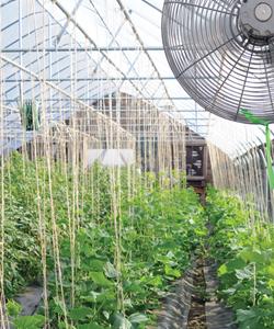 Greenhouse Cucumber Trial