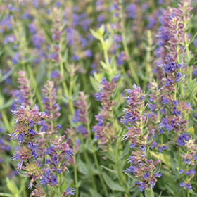 How to Grow Hyssop
