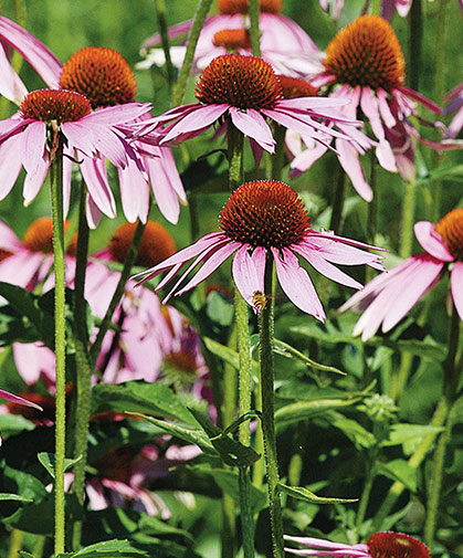 Echinacea flowers, usedful as a cut flower, to support beneficial insect populations, and in teas and tinctures.