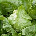 Transplanted Head Lettuce