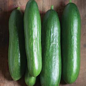 Bulk Cucumber Seed