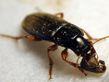 Ground beetles help with weed management