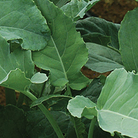 How to Grow Leaf Broccoli