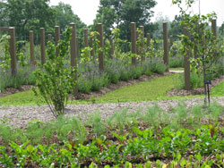 Young vines growing up a 3-wire trellis system