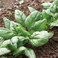 Tundra Organic Spinach Seed