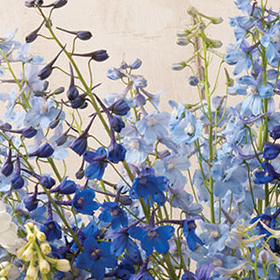 How to Grow Delphinium