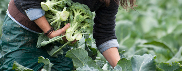Brassica Timing, Temperature & Fertility