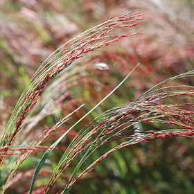 How to Grow 'Ruby Silk' Ornamental Millet