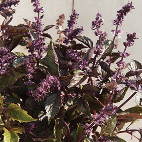 How to Grow Basil for Cut Flowers