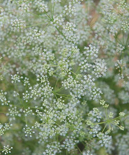 Umbels of feathery white anise flowers, which will develop small brown, strongly licorice-flavored seeds.