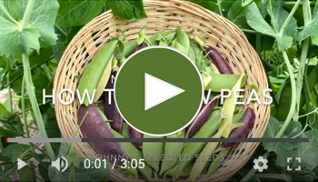 View Our How to Grow Peas Video