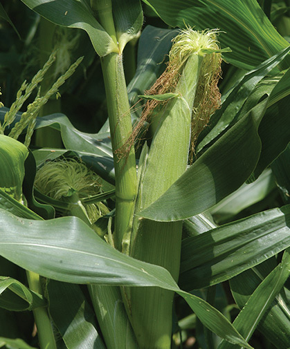 An ear of developing sweet corn; a stalk at right shows male flowers with anthers and pollen.