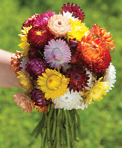 This hand bouquet of strawflowers shows the size, breadth and richness of color in our 'Sultane Mix.'