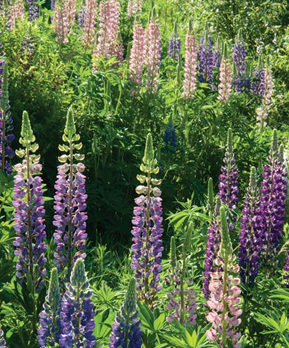Field of purple and pink lupine, a popular and widespread ornamental flower with many hybrids and cultivars.