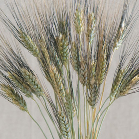 How to Grow Black & Silver Tip Ornamental Wheat