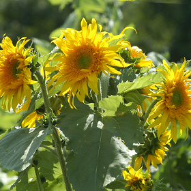 How to Grow Branching Sunflowers