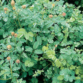 How to Grow Salad Burnet