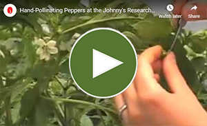 Hand-pollinating peppers, a classical breeding technique.